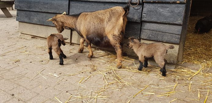 Babygeitjes op de Kempervennen in Westerhoven.