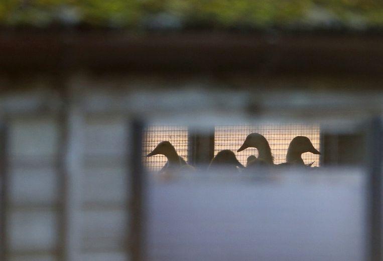 Eenden op een Engelse boerderij vaar de vogelgriep is geconstateerd. Beeld reuters