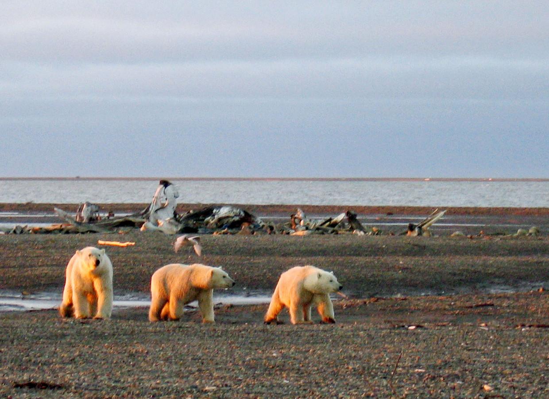 IJsberen op Alaska. Archiefbeeld.