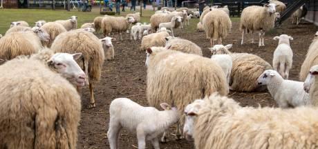 De lente begint ook zonder lammetjesdag bij de kuddes in Ermelo, Elspeet en Epe-Heerde
