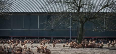 Wakker Dier krijgt 'kippenvel' van besluit AH over scharrelkip