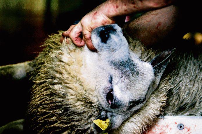 Een schaap wordt ritueel geslacht.