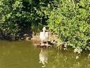 De pelikaan die voortaan Meerhoven bezoekt.