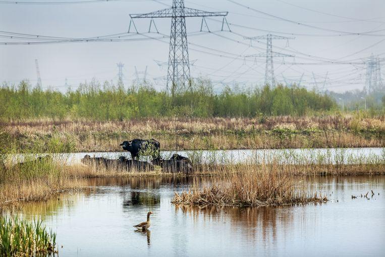 Waterbuffels in de Diemerscheg. Het is de hoop dat zij met hun gegraas het gebied openhouden en zo aantrekkelijk maken voor otters. Beeld Jean-Pierre Jans