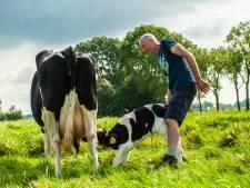 Beste reclame voor de boer: Wim laat kalfje bij moederkoe in de wei