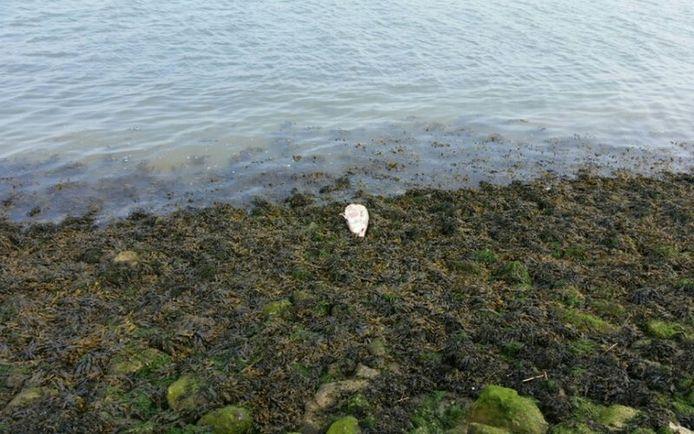 De bruinvis die in Hansweert gevonden is.