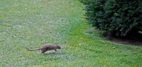 """Le confinement pousse les rats de Londres en banlieue et provoque la peur des """"super rats"""""""