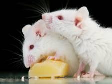 Flink meer mensen ziek door ratten en muizen in 2014