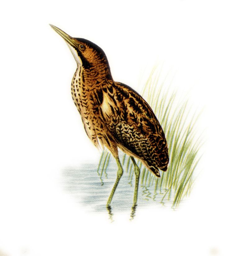 Roerdomp. Baltsroep van mannetje tot op 5 km hoorbaar, zeer diep, uitademend, misthoornachtig whoemp, 3-8 maal herhaald met intervallen van 2,5 seconden. Van dichtbij ook inademende beginklank uh-WHOEMP en inleidend zacht gorgelen en snavelklapperen te horen. Beeld ANWB vogelgids van Europa, Illustratie: Karl Aage Tingaard, Vogels in Kleuren