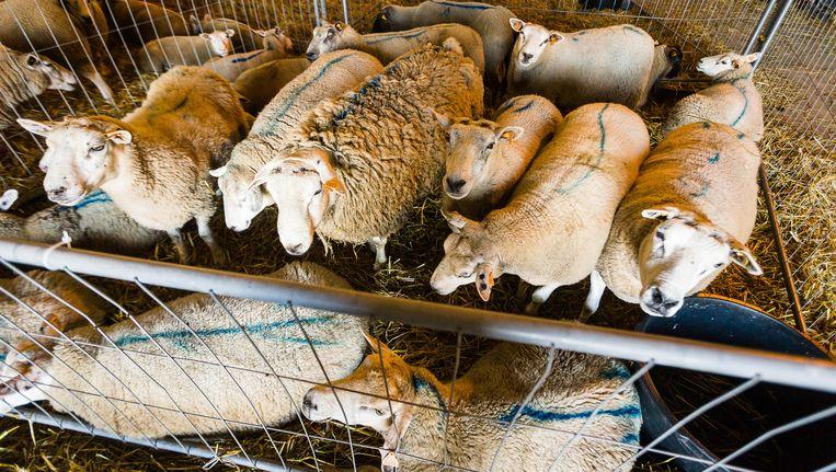 Schapen staan in het slachthuis van Zottegem klaar om geslacht te worden voor het offerfeest van vorig jaar.