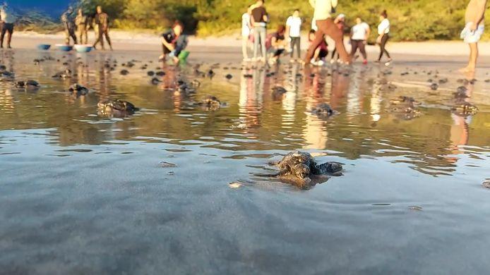 602 bébés tortues relâchés dans la mer au Nicaragua.