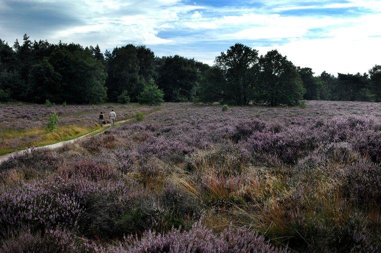 Vroegbloeiende heide afgelopen zomer in natuurgebied de Meinweg bij Ospel. Beeld Hollandse Hoogte /  ANP