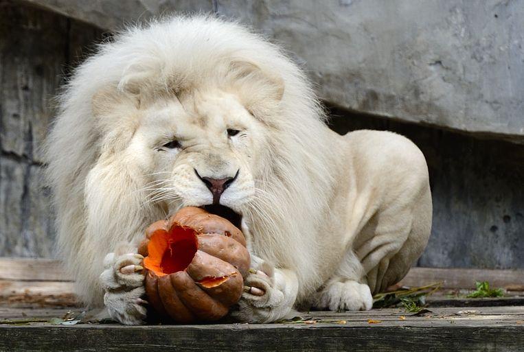 Archieffoto: Een witte leeuw knabbelt aan een pompoen gevuld met kip, in Ouwehands Dierenpark.  Beeld ANP