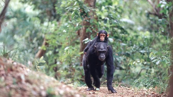 Belgisch-Congolees team ontdekt nieuwe populatie bedreigde chimpansees in Congo