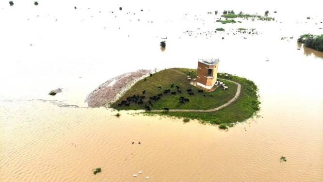 """Tientallen runderen 'gevangen' op eilandje: """"Alle dieren zijn in veiligheid"""""""