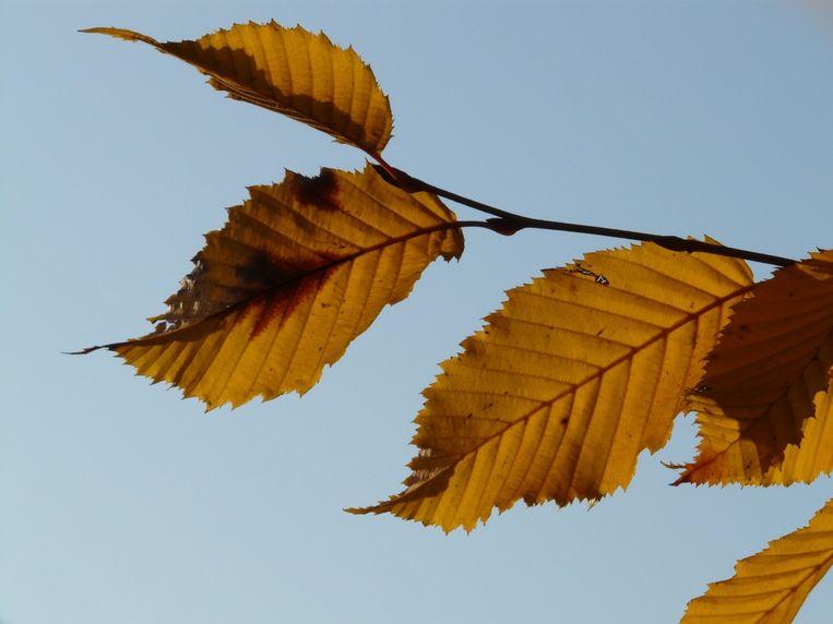 Een berk kan bij deze droogte een derde tot de helft van zijn bladeren verliezen.  Beeld rv