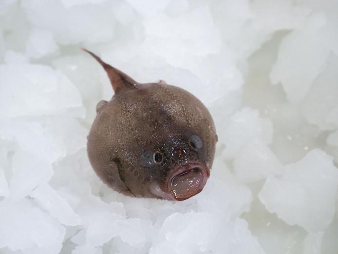 Een coffin fish, gevonden op 1.000 meter diepte.