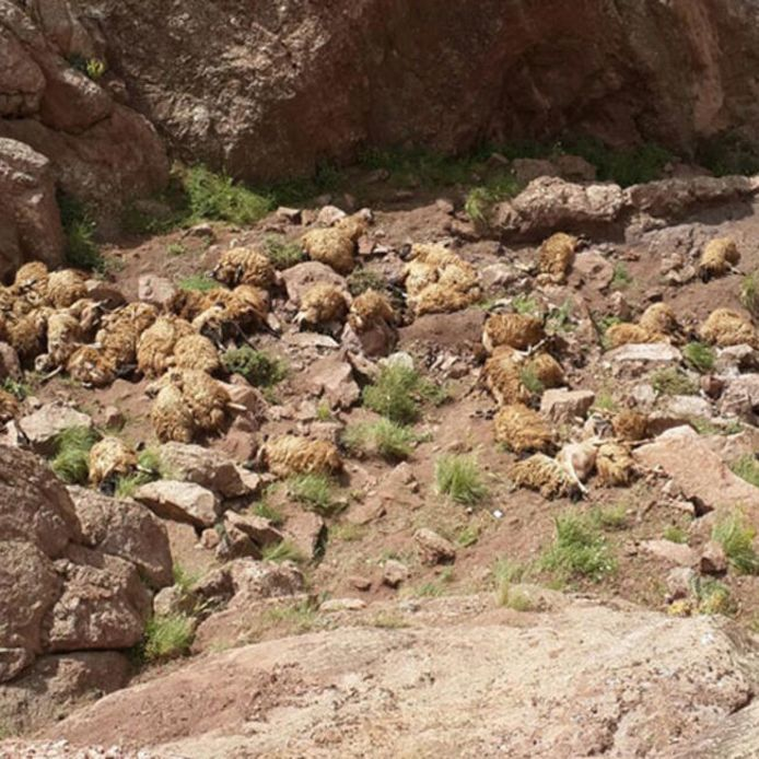 Ruim 500 schapen zijn in Turkije in een ravijn gevallen.