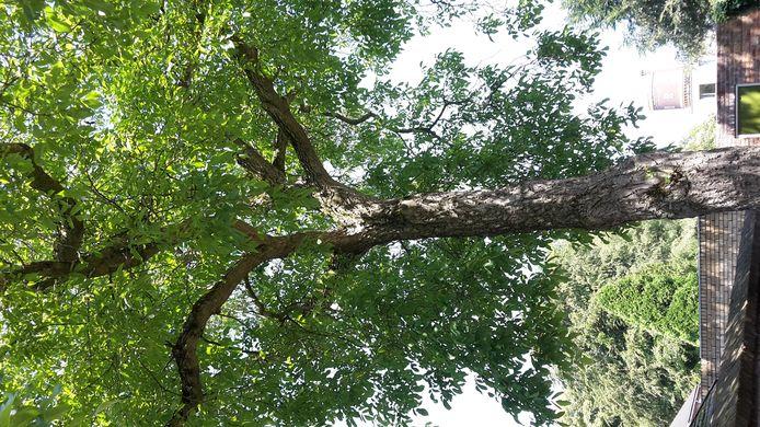 In onze tuin staat mogelijk de grootste en oudste notenboom van Tilburg. De boom zal ongeveer zo'n honderd jaar oud zijn. Ons huis is een voormalige bakkerij en is omstreeks 1920 gebouwd. Waarschijnlijk is de boom bij het huis gepland om de vliegen buiten te houden. In 2015 hebben we dit huis gekocht. Het is mijn ouderlijk huis. De boom is speciaal voor mij want ik ken de boom mijn hele leven. Bovendien is het bijzonder als mensen ontdekken dat er in een gewone (maar oude) woonwijk als de onze deze enorme boom op de binnenplaats staat. Niet te vergeten geeft hij ons en onze buren elk jaar weer heel veel noten. Het is een oude taaie boom. Misschien niet de mooiste maar wel de meest bijzondere!!! Kom maar eens kijken en proef van de walnoten!