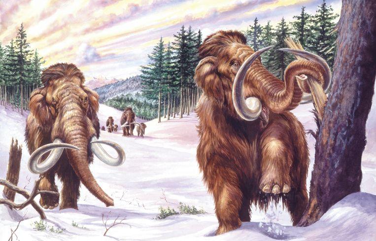 Hier zijn ze nog geïllustreerd, maar wie weet stappen mammoeten op termijn weer rond in het echt. Beeld De Agostini via Getty Images