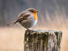 Het Europese songfestival voor zangvogels, daar kan geen mens tegenop