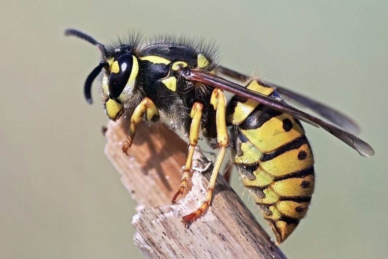 Vespula germanica stockadr wesp