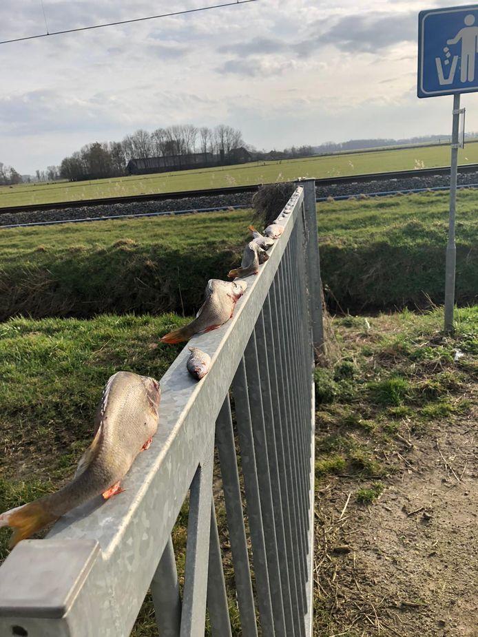 Dode vissen gevonden bij de Bosjessteegkolk in het buitengebied van Kampen.