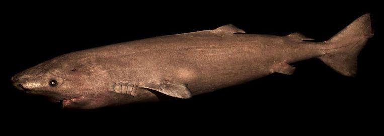 Groenlandse haai. Beeld Julius Nielsen