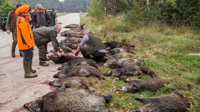 """""""Limburgse everzwijnen zijn vetste van West-Europa, en meest vruchtbare"""": jagers vrezen pak meer biggen, nu drijfjacht niet mag door corona"""