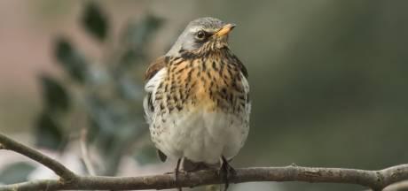 Minder wintervogels in Twente: waarom vliegen als er dicht bij huis voldoende voedsel is?