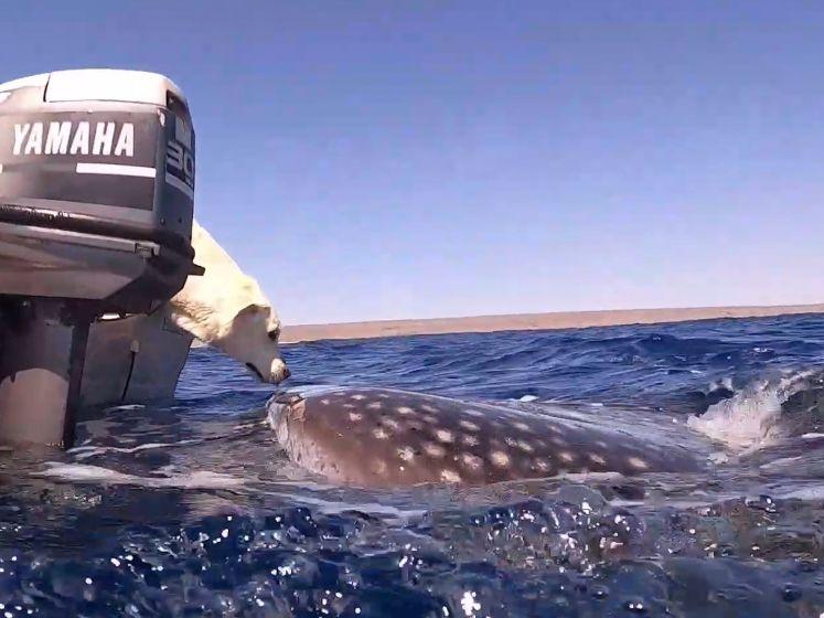 Labrador en nieuwsgierige walvishaai 'kussen' elkaar