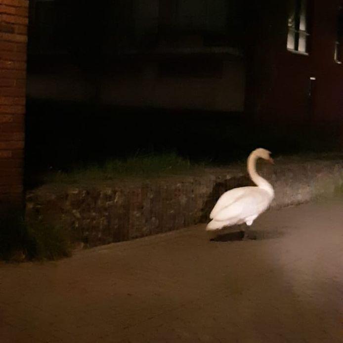 Eén van de twee luidruchtige zwanen loopt 'tevreden' weg, aldus de politie.
