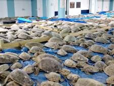 Plus de 4 000 tortues assommées par le froid, recueillies dans un centre au Texas