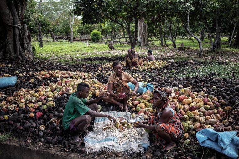 Cacaoboeren in Madagaskar. Beeld Hollandse Hoogte / AFP