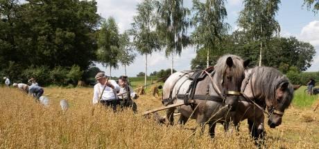 Op dit veld wordt de haver nog letterlijk met paardenkracht geoogst: 'We willen deze gebruiken in leven houden'