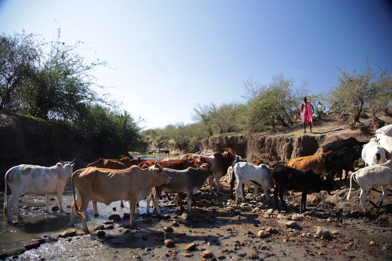 Het vee drinkt in de kronkelende Sekenani.  Beeld Karim Kara