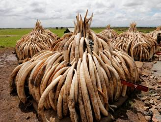 Merendeel ivoorhandel in handen van drie kartels