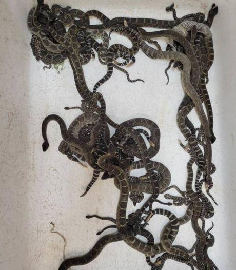 90 serpents venimeux découverts sous une maison aux États-Unis