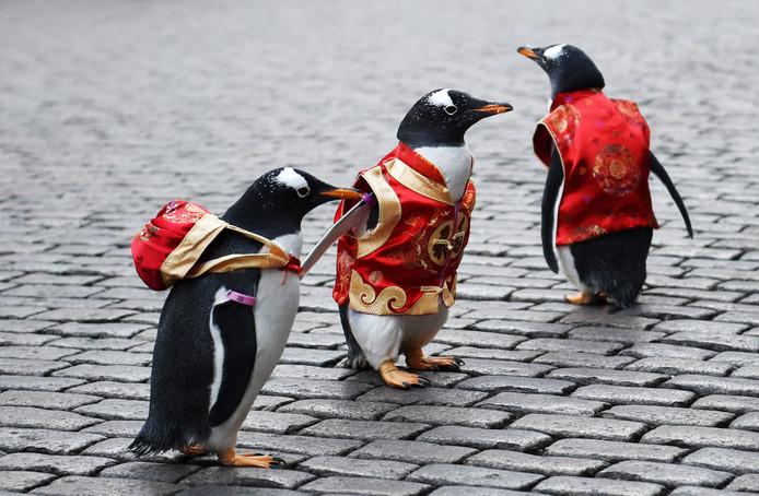 Drie Pinguïns, met een veiligheidsvestje aan, maken in het Chinese Harbin reclame voor de lokale dierentuin 'Polarland'. Foto Wang Jianwei/Xinhua