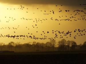 Witte reigers en winterganzen vullen het luchtruim