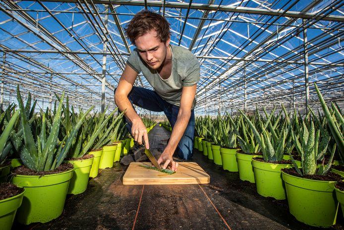 De Naaldwijkse plantenkweker Freek Wesstein bezig met het snijden van aloë verabladeren.