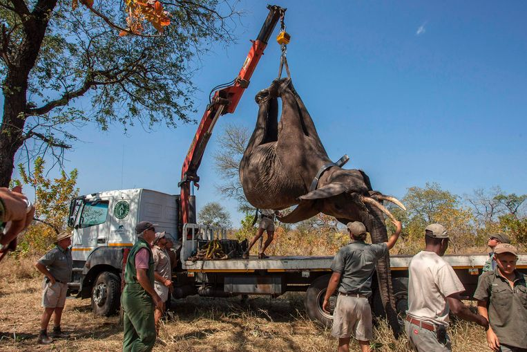 Een olifant wordt in een vrachtwagen geladen voor de verhuis naar het Nkhotakota Wildlife Reserve. Beeld AFP