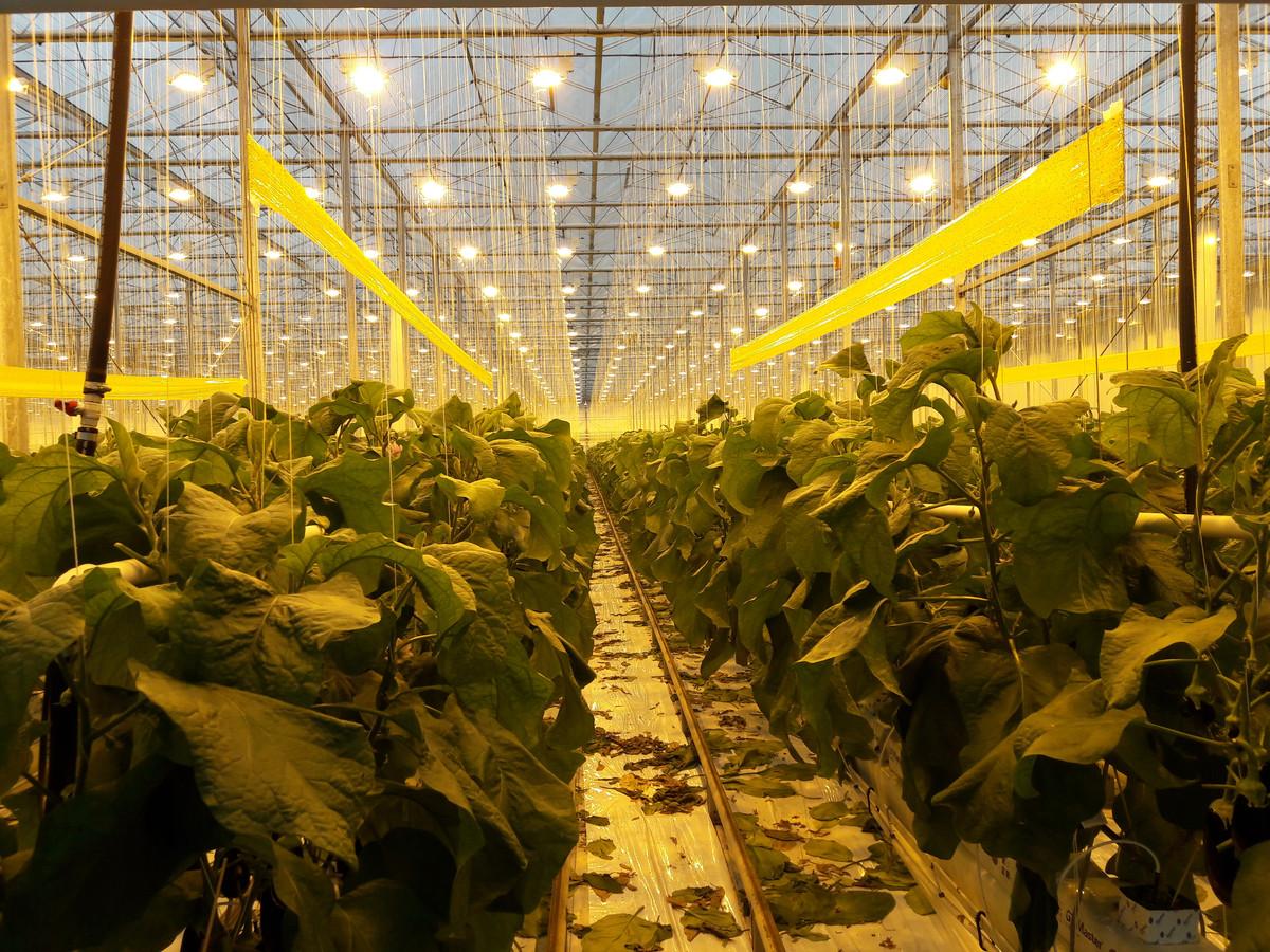Aubergineplanten onder lampen in de kassen van De Jong.