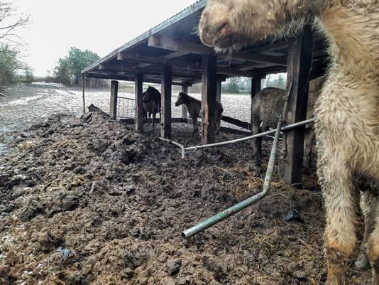 Les chevaux pataugeaient dans leurs propres excréments.
