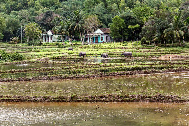 Waterbuffels grazen tussen de ondergelopen rijstvelden in de buurt van Hué.  Beeld Nicolas Chartier