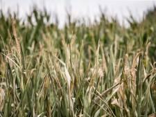 Droogte bedreigt mais- en grasoogst van boeren in Twente en Achterhoek