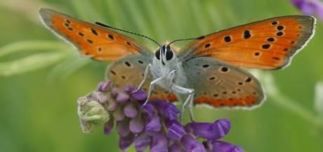 Deze zeer zeldzame vlinder komt bijna alleen in de Kop van Overijssel voor, maar heeft het ontzettend zwaar: 'Het is alle hens aan dek'