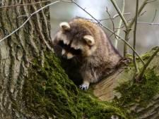Wasbeer slaapt nog steeds z'n roes uit in boom in Vught: 'Hier zijn we niet blij mee'