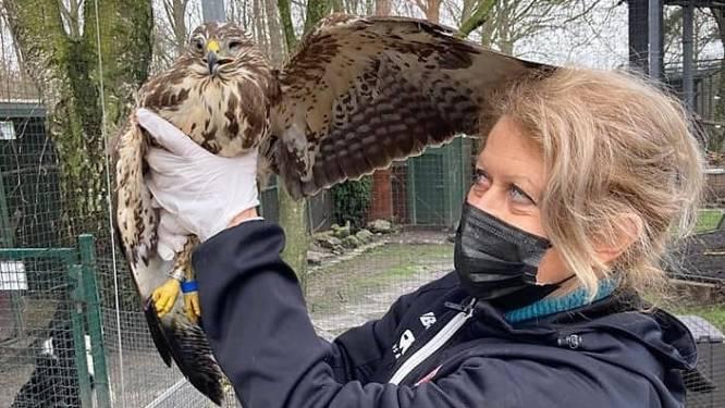 """Cathy (63) redt gewonde buizerds: """"Zet mij sinds mijn pensioen voor gekwetste wilde dieren in"""""""