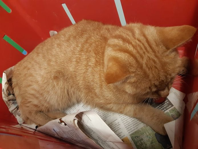 De kat had evenwichtsproblemen en spiertrillingen. Na een behandeling in dierenkliniek Schellerlanden gaat het weer beter met het dier.